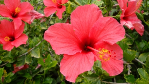 Hibiscus Puts a Little Zing in Your Life!