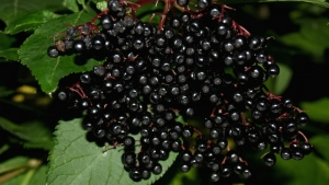 Old Remedies Made Anew – Elderberry