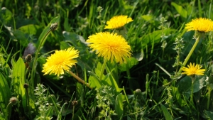 Dandelion: The Most Under-Appreciated Herb