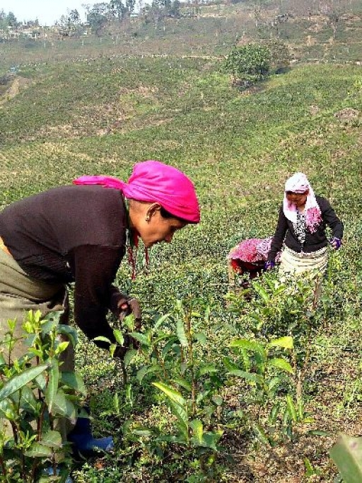Winter Works at Glenburn Tea Estates